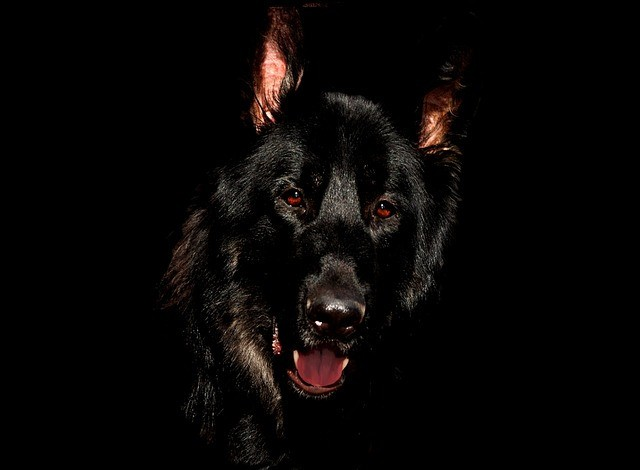 злая черная собака